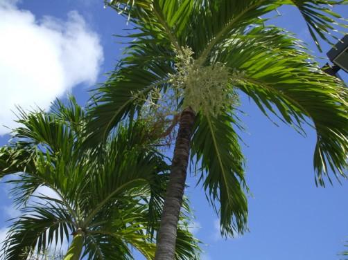 ガラパンのヤシの木